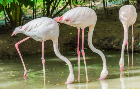 Three pink flamingos are searching feed in the water