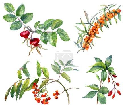 Autumn berries. Watercolor illustration.
