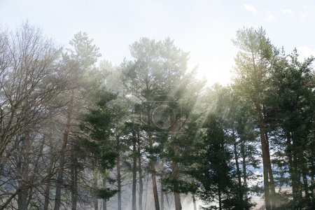 God rays between trees.