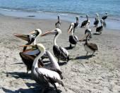 Peru pelikánů na pláži