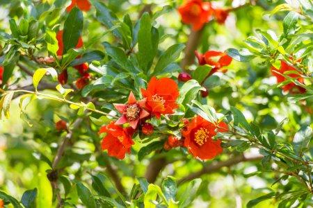 Photo pour Fleurs rouges et bourgeons de grenade sauvage - image libre de droit