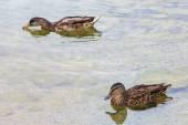 Kachny koupat v čisté vodě