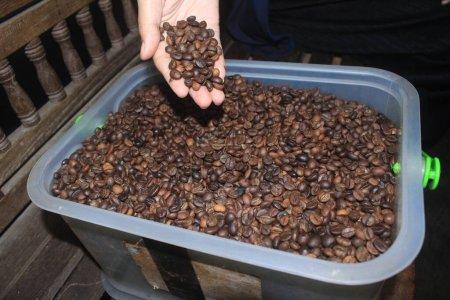 Photo pour Cette photo est une photo de Robusta grain de café typique de Pekalongan, Java central, Indonésie. - image libre de droit
