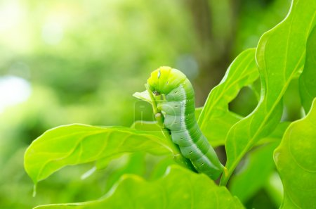 The Butterfly larvae.