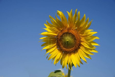 Photo for Closeup bloomimg sunflower on blue sky background - Royalty Free Image