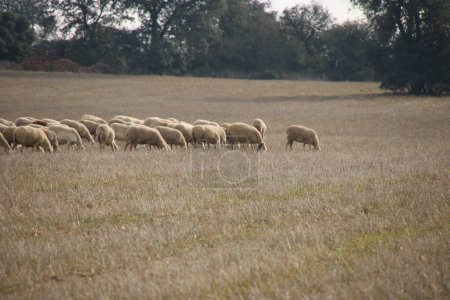 Photo for Flock of sheep eating in the meadow - Royalty Free Image