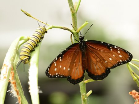 Queen buttterfly and caterpillar on a plant