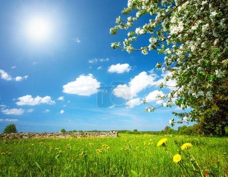 Dandelion field with apple tree