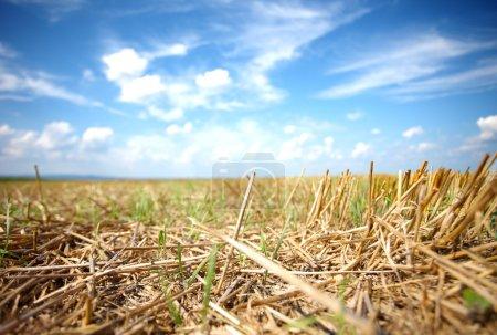 Mown field of wheat