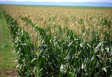 Campo de maíz verde