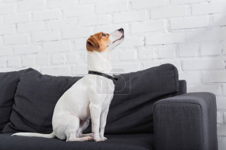 jack russell terrier looking away while sitting on couch