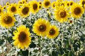 Solrosor i fältet