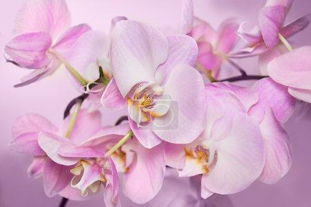 Photo pour Beau fond de grappe de fleurs d'orchidée rose clair. C'est un bon exemple de comment parfaitement orchid peut floraison. Fleur d'orchidée Phalaenopsis est comme un papillon tropical. - image libre de droit