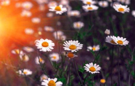 wild flowers, daisy in the summer sunset.