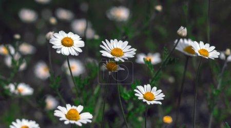 wild flowers, daisy .