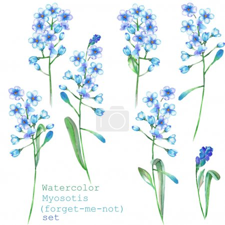 Foto de Un conjunto con los elementos florales aislados en forma de acuarela azul olvidar-me-no flores (Myosotis) sobre un fondo blanco para una decoración - Imagen libre de derechos