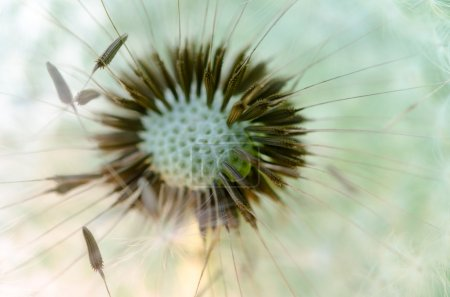 Macro photo of dandelion.