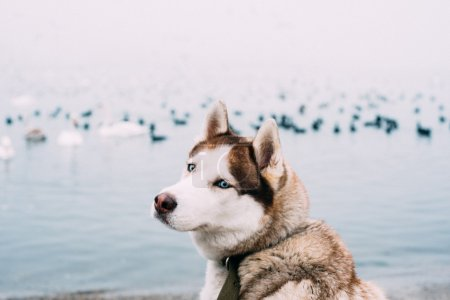 siberian husky dog sitting on seaside, birds on background. image filtered with grain