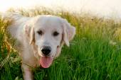 Labrador dog in the grass
