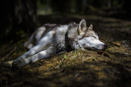siberian husky puppy sleeping in the forest