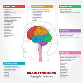 Guide to the human brain anatomy and human brain functions segregated by lobes Brain structure infographics