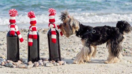 Photo pour Drôle Yorkshire Terrier renifle une bouteille de vin cadeau en bonnet tricoté et écharpe sur la plage. Concentration sélective . - image libre de droit
