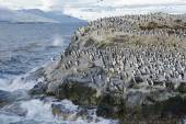 Colony of King Cormorants and Sea Lions on Ilha dos Passaros located on the Beagle Channel, Tierra Del Fuego, Argentina