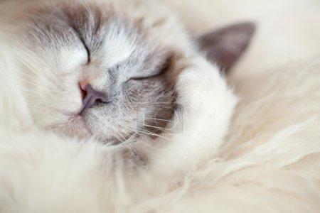 Cat sleeps closing paw