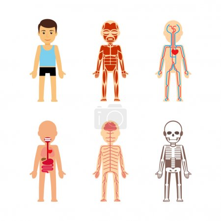 Illustration for Body anatomy Vector illustration. Skeletal and muscular, circulatory and nervous - Royalty Free Image