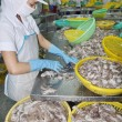 Постер, плакат: A woman worker is classifying octopus for export in a seafood processing factory