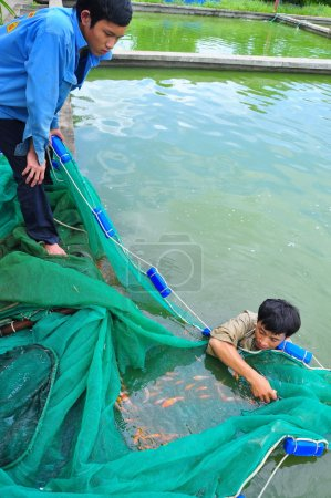 Cu Chi, Vietnam - August 5, 2011: Workers are catching Koi fish broodstocks from ponds to tanks