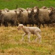 A lost lamb desperately calling it's mother on Aus...