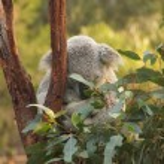 Adorable koala bear sleeping in the tree in Austra...