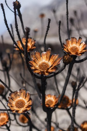 Proteas burnt during a wildfire