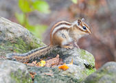 Siberian chipmunk in Seoraksan National Park