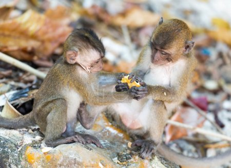 Fighting monkey cubs at Thailand