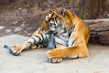 Amur tiger Seoul grand park zoo