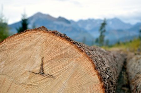 Photo pour Tree trunk in mountains, a chopped off tree showing annual rings. - image libre de droit