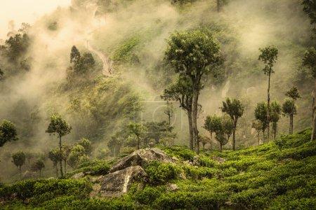 Photo for Misty road on tea plantation in Sri Lanka - Royalty Free Image