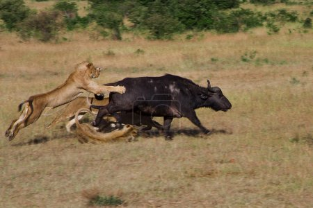 Lion Hunting in Kenya