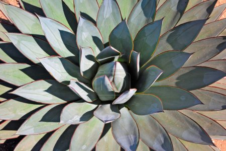 Agave close-up portrait