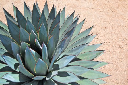 Photo for Agave close-up portrait on arid soil - Royalty Free Image
