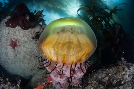Sea Nettle Jellyfish and Kelp Forest