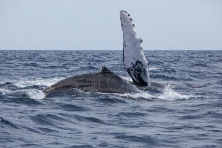 Humpback Whales Playing at Surface of Ocean
