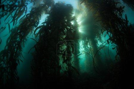 Sunlight filters through a Giant kelp forest