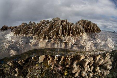 Photo pour Les coraux poussent dans les eaux peu profondes d'Ambon, en Indonésie. Cette région reculée se trouve dans le Triangle de Corail et abrite une biodiversité marine extrêmement élevée et une plongée et un snorkeling de classe mondiale. . - image libre de droit