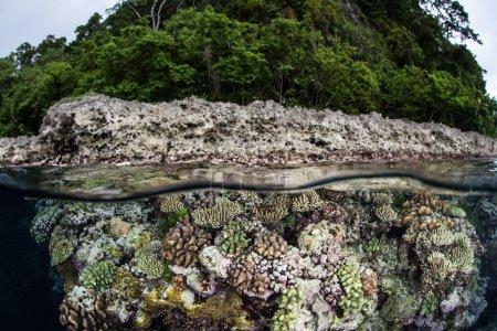 Photo pour Un récif corallien diversifié pousse dans les eaux peu profondes d'un lagon à Raja Ampat, en Indonésie. Cette zone est connue comme le cœur de la biodiversité marine et se trouve dans le Triangle des coraux . - image libre de droit