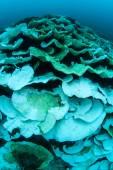 Křehké korály v západním Pacifiku
