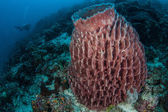 large barrel sponge grows on a coral reef
