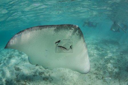 Tahitian stingray swims in shallow lagoon